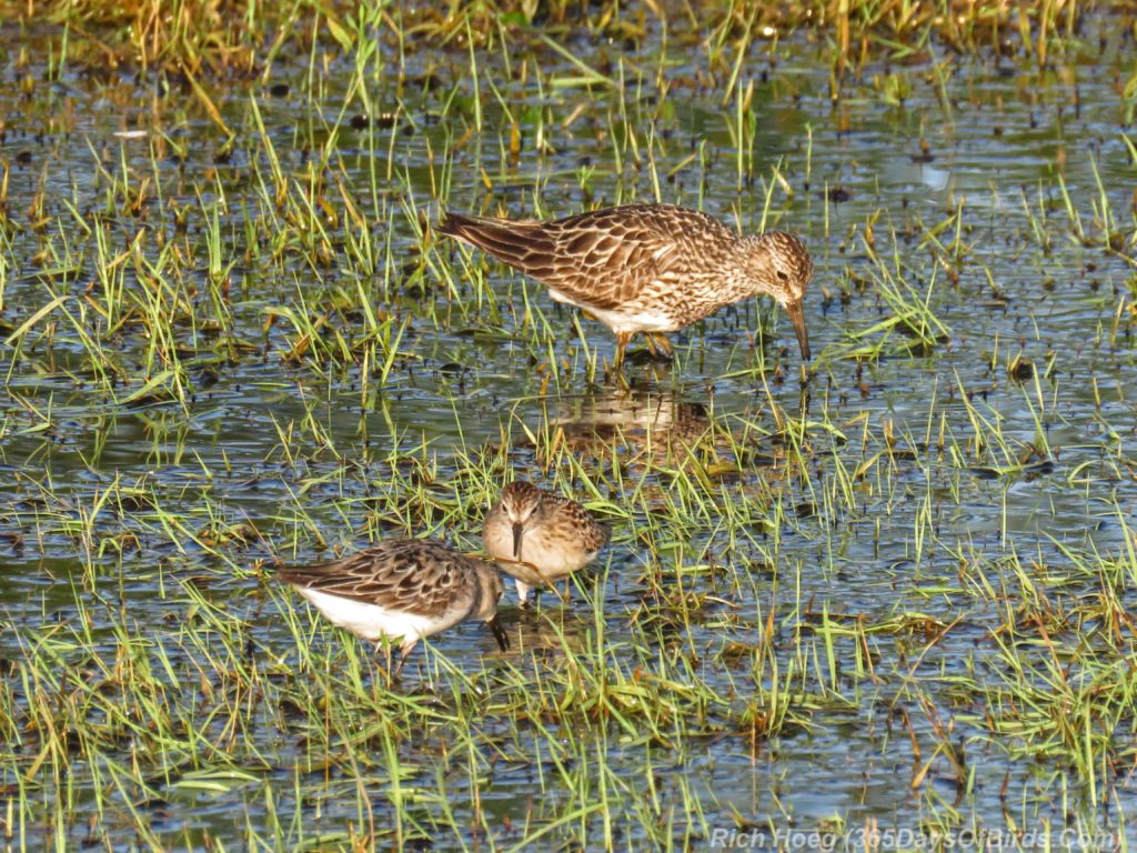 Y3-M07-Power-Outage-Shorebird-Least-Sandpiper-Lesser-Yellowlegs