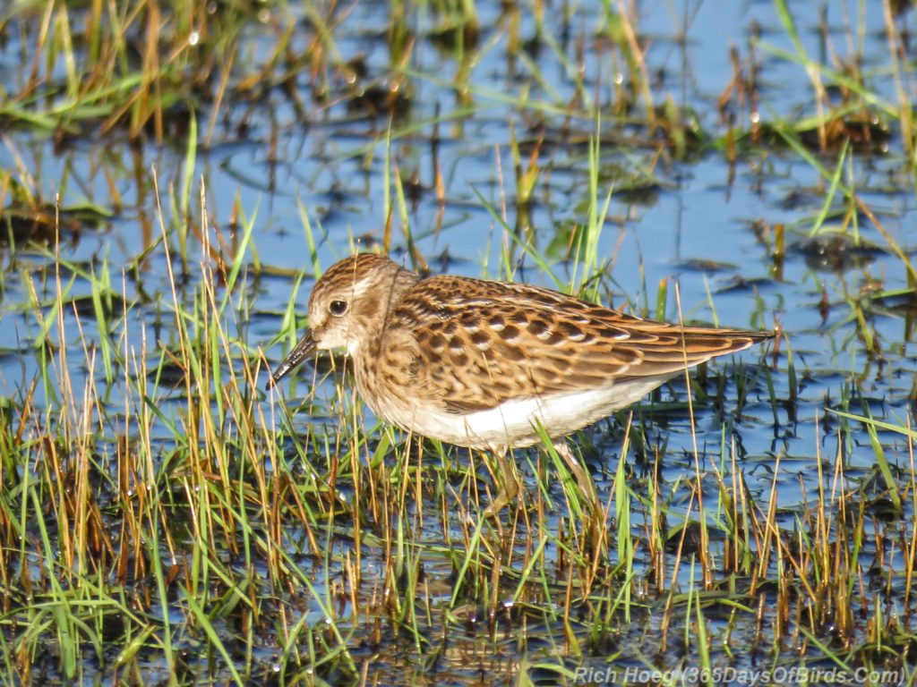 Y3-M07-Power-Outage-Shorebird-Least-Sandpiper