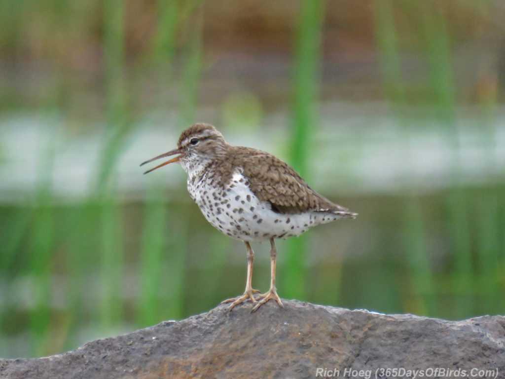 Y3-M07-Spotted-Sandpiper-1