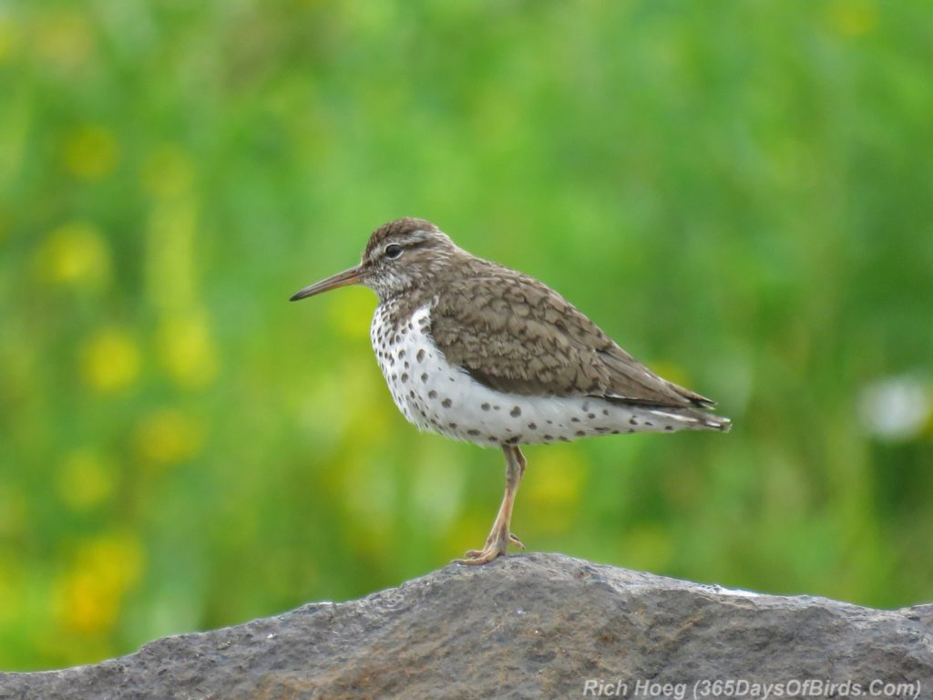 Y3-M07-Spotted-Sandpiper-2