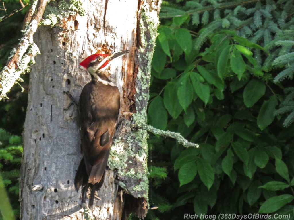 Y3-M07-Sunrise-Pileated-Woodpecker-1