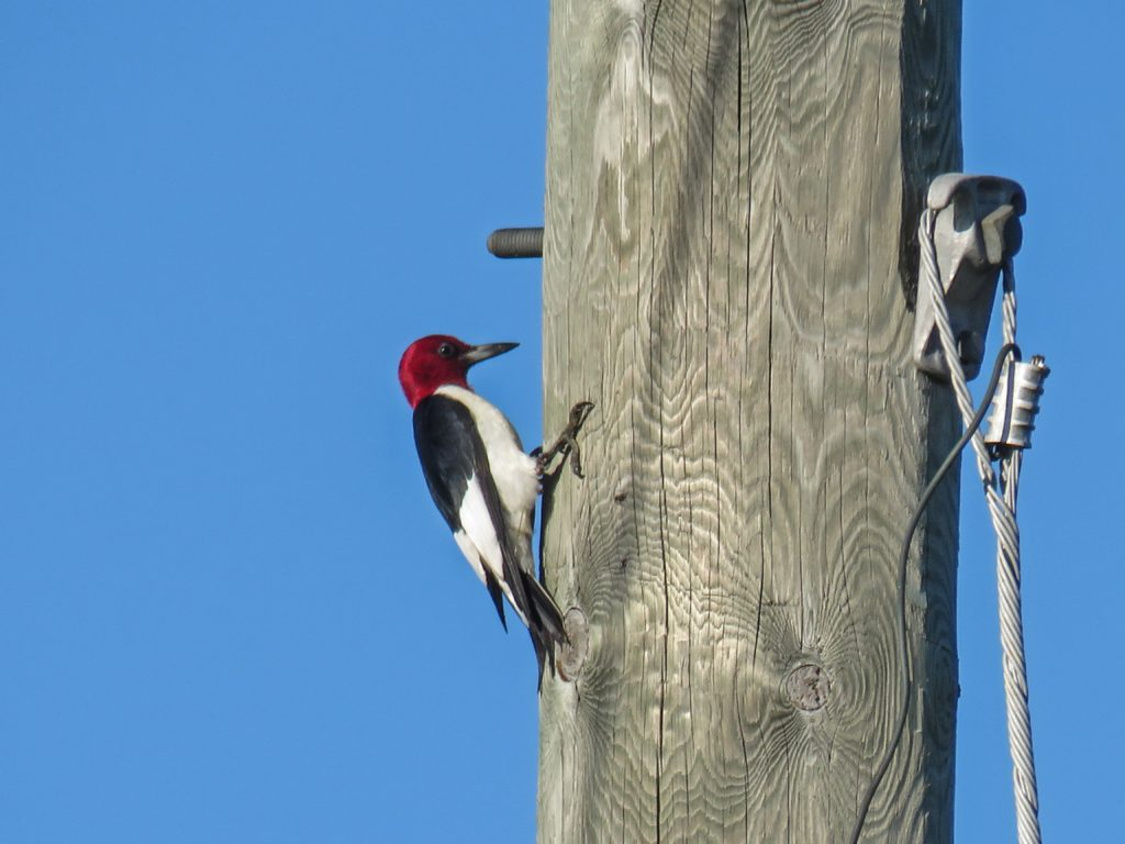 Y3-M08-Cloverland-Red-Headed-Woodpecker