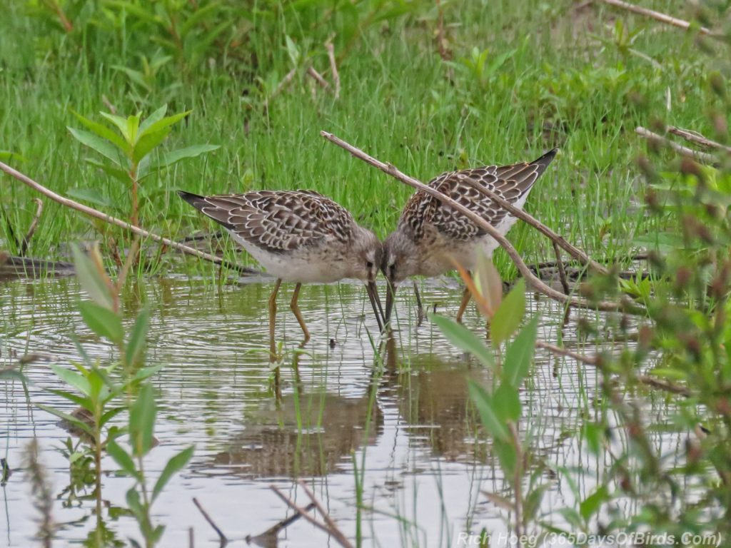 Y3-M08-Duluth-Harbor-Lesser-Yellowlegs-1