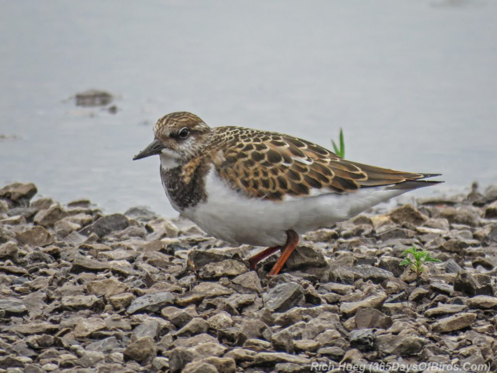 Y3-M08-Duluth-Harbor-Ruddy-Turnstone-1