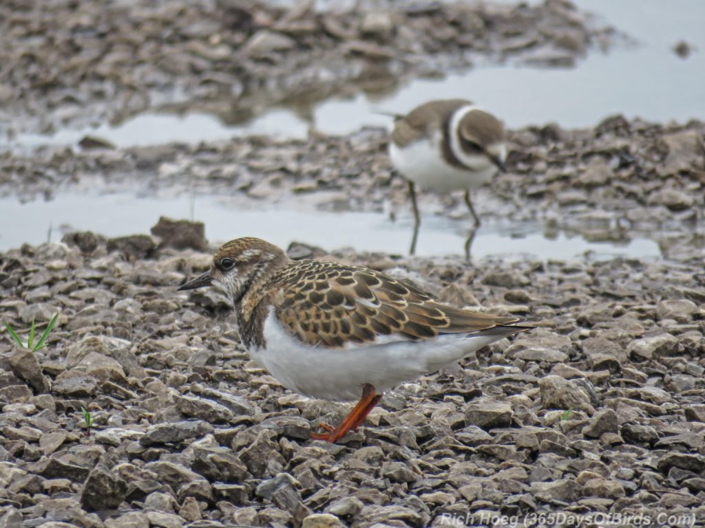 Y3-M08-Duluth-Harbor-Ruddy-Turnstone-and-Semi-Palmated-Plover