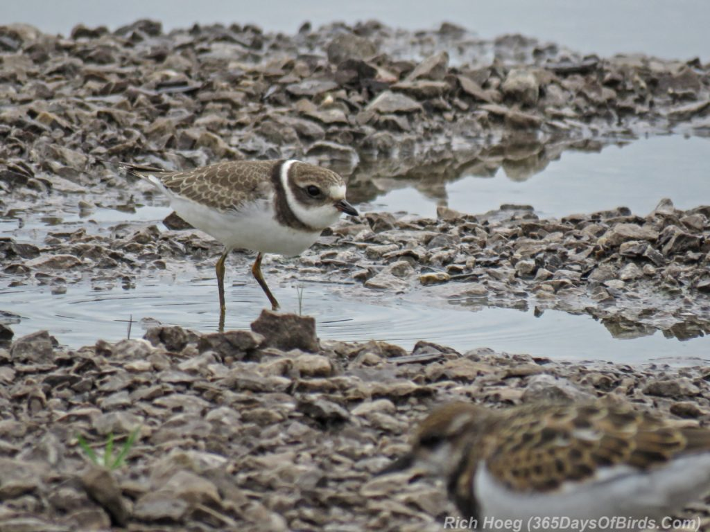 Y3-M08-Duluth-Harbor-SemiPalmated-Plover
