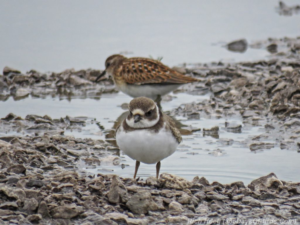 Y3-M08-Duluth-Harbor-SemiPalmated-Plover-and-Least-Sandpiper-2