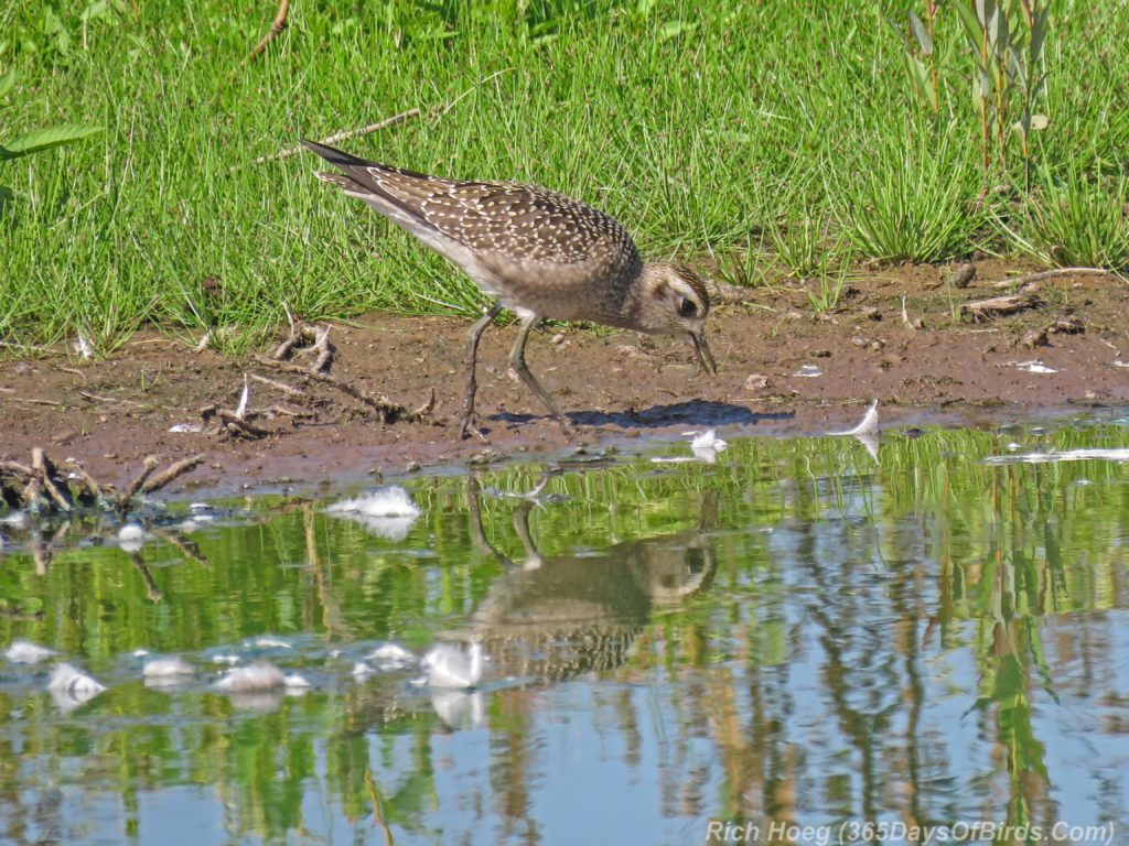 Y3-M08-Erie-Pier-Sunday-American-Golden-Plover-Immature-7