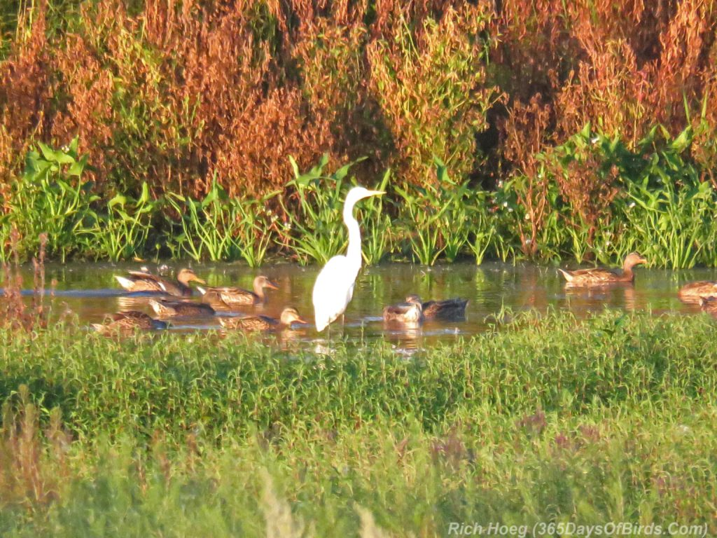 Y3-M08-Erie-Pier-Sunnrise-Great-Egret-2