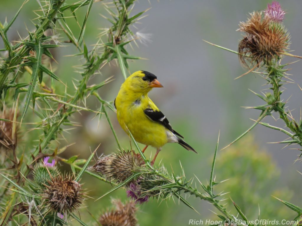 Y3-M08-Erie-Pier-Tall-Goldfinch-Thistle-1