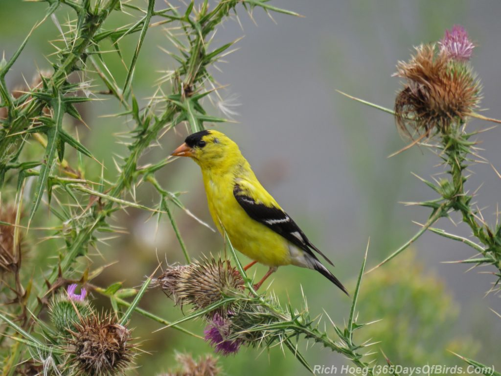 Y3-M08-Erie-Pier-Tall-Goldfinch-Thistle-2