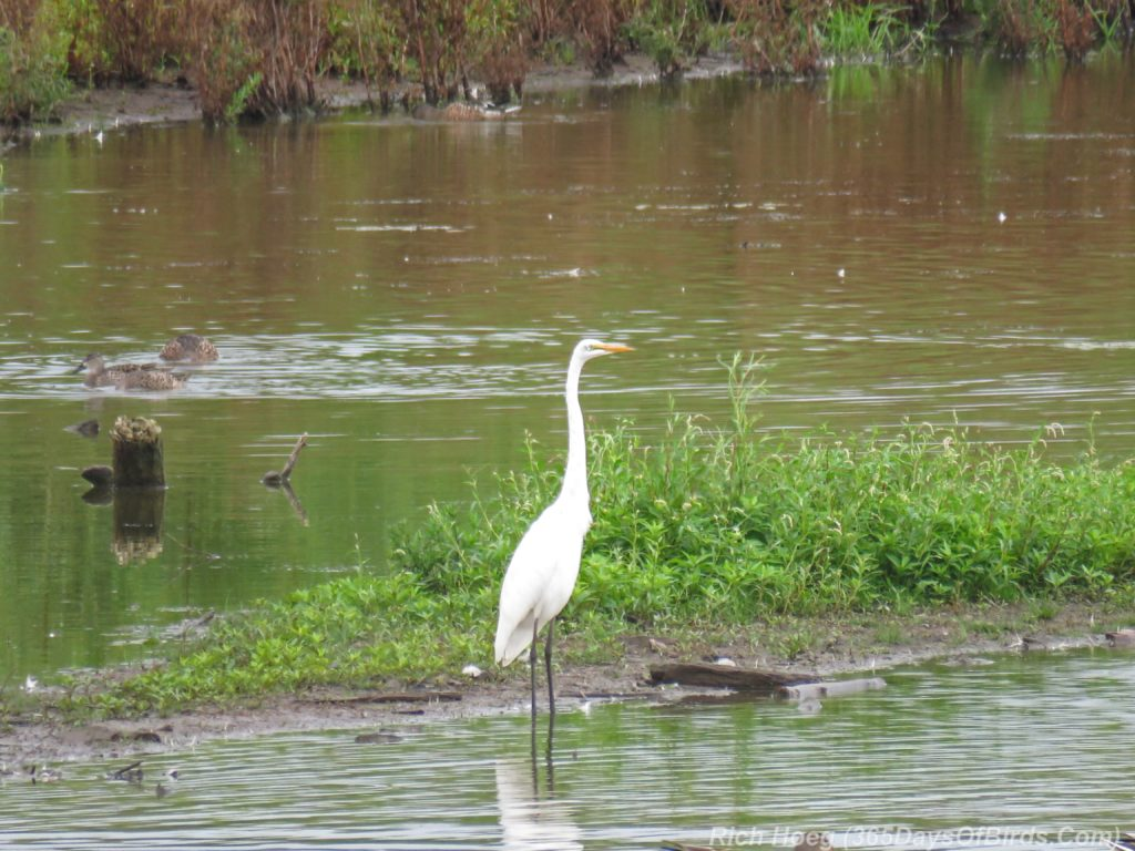 Y3-M08-Erie-Pier-Tall-Ships-Great-Egret