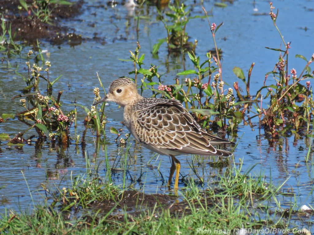Y3-M08-Park-Point-Individual-Buff-Breasted-Sandpiper