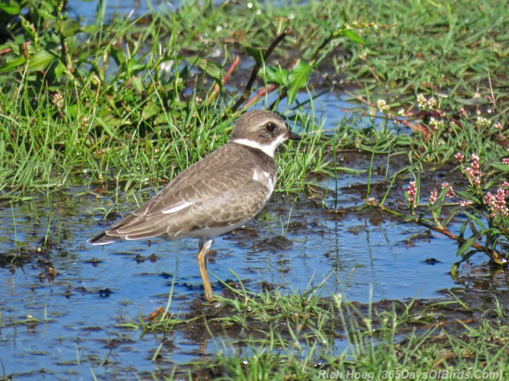 Y3-M08-Park-Point-Individual-Semi-Palmated-Plover