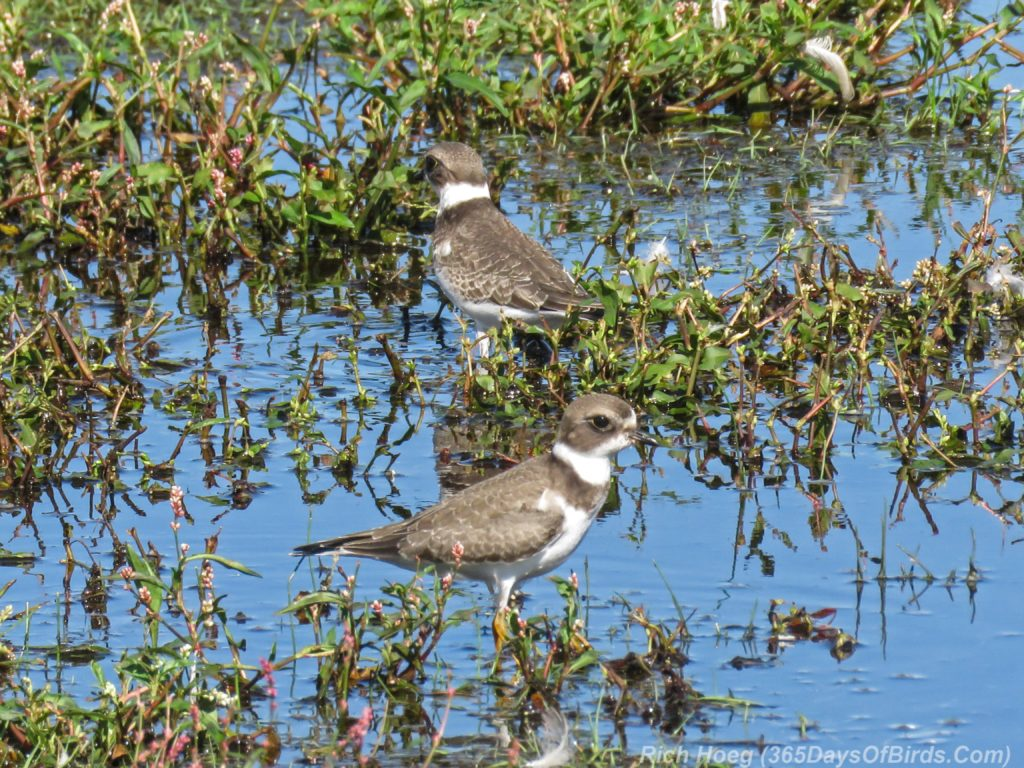 Y3-M08-Park-Point-Pair-Semi-Palmated-Plover-2