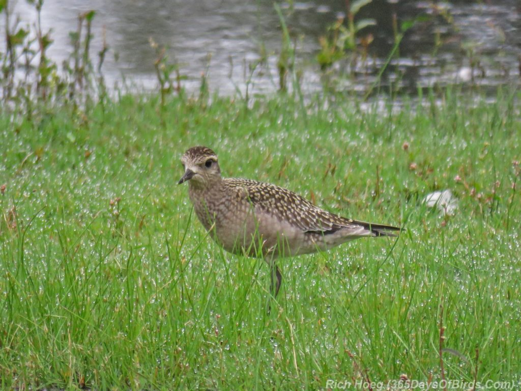 y3-m09-park-point-american-golden-plover
