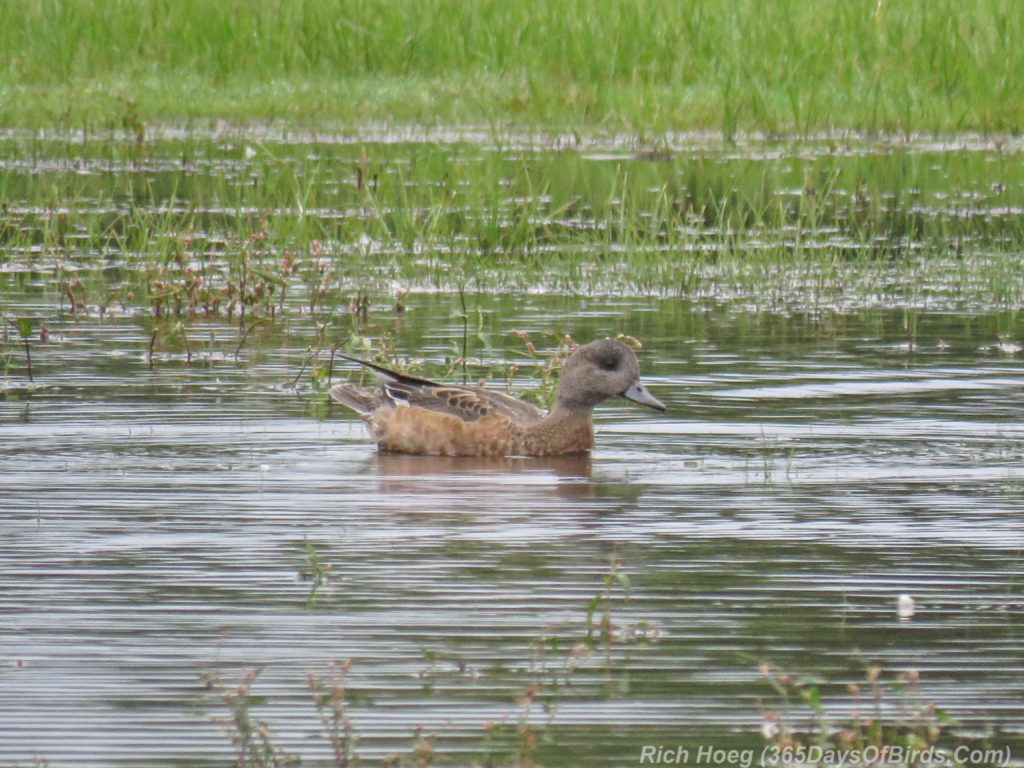 y3-m09-park-point-american-widgeon