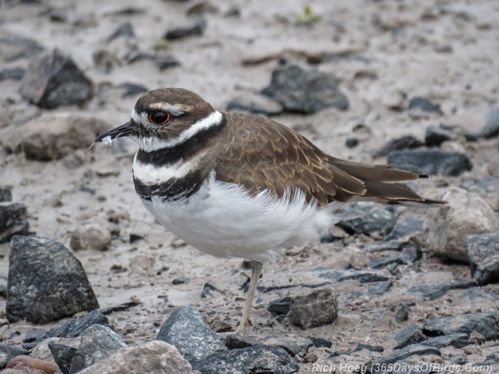 y3-m09-park-point-semi-palmated-plover