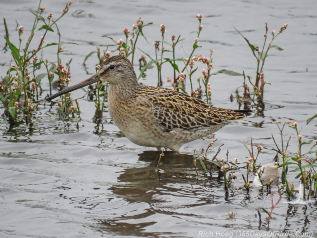 y3-m09-park-point-short-billed-dowitcher