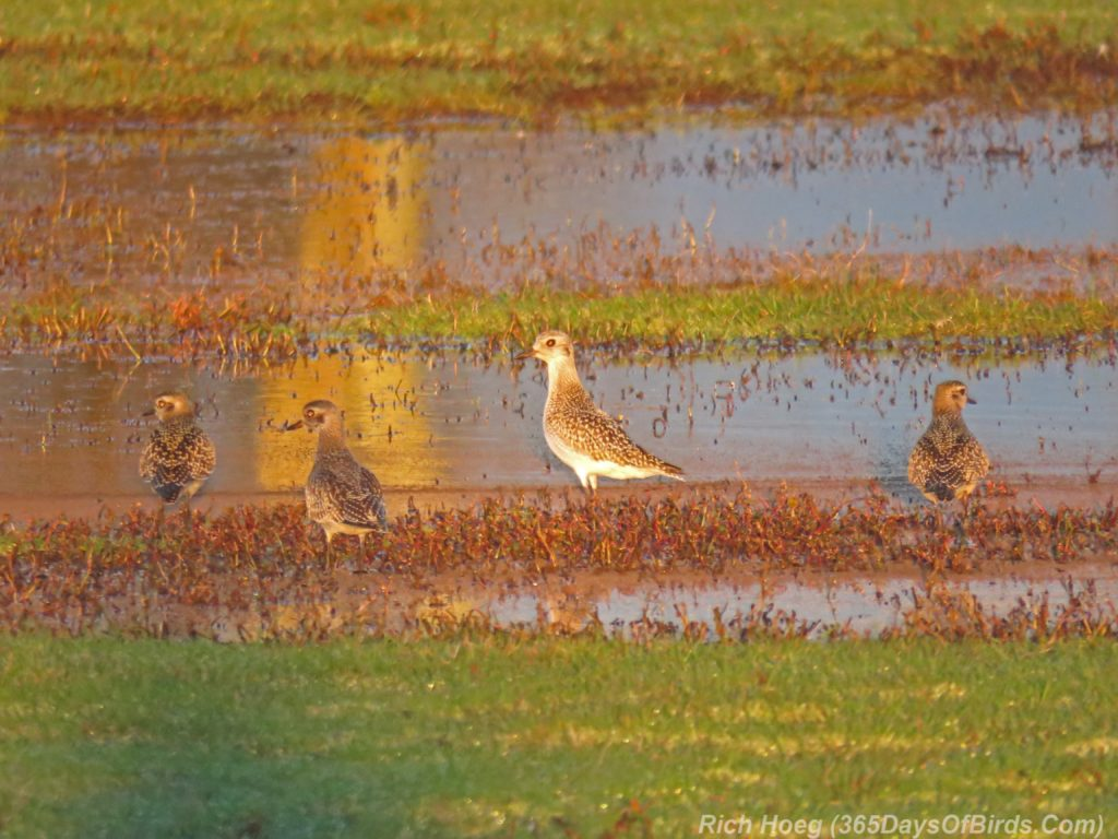 y3-m10-park-point-recreation-area-sunrise-american-golden-plover-1