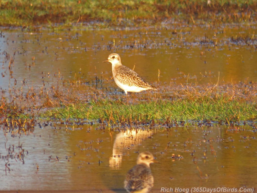 y3-m10-park-point-recreation-area-sunrise-american-golden-plover-2