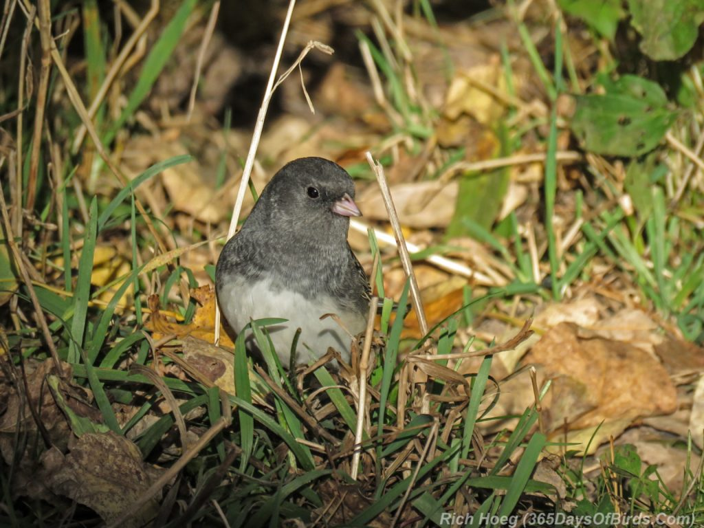 y3-m10-slate-colored-junco-2