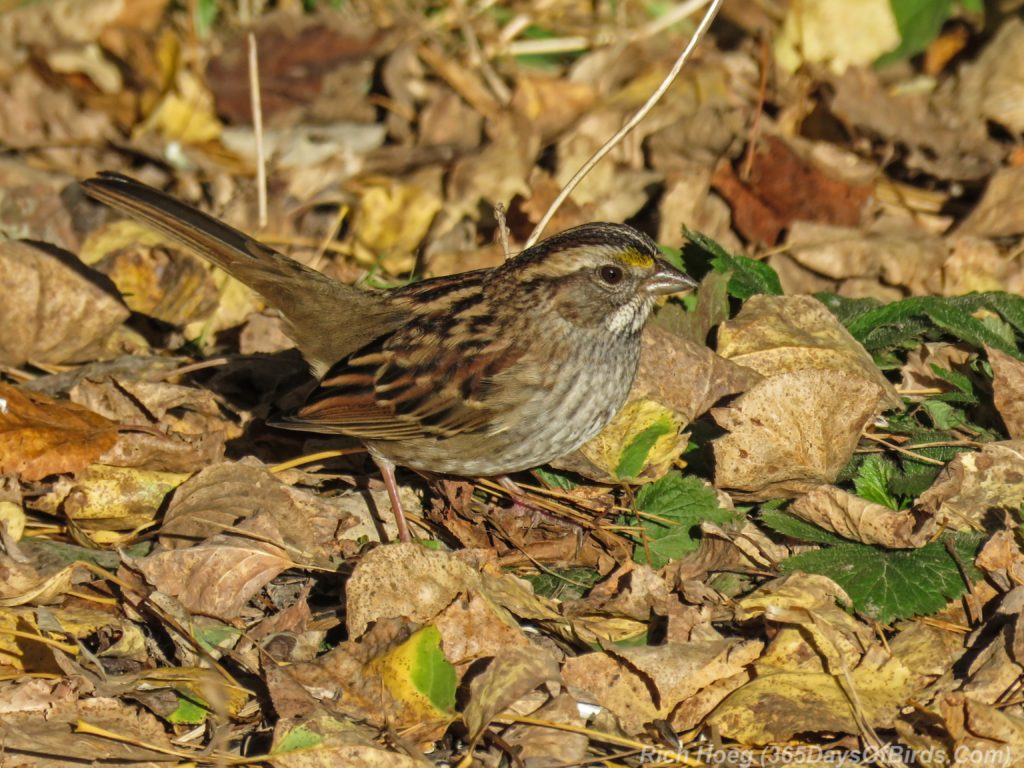 y3-m10-white-throated-sparrow-1