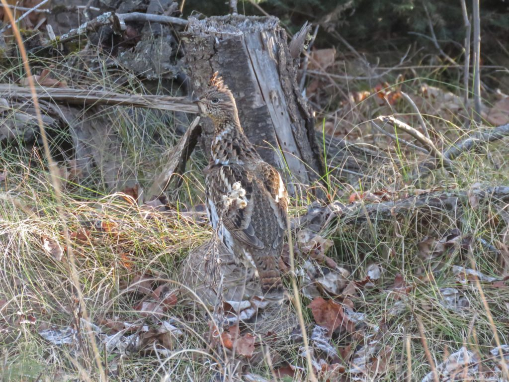 y3-m11-old-vermilion-trail-ruffed-grouse-2