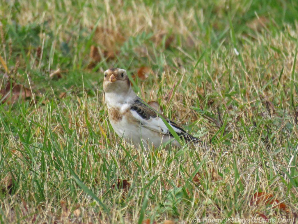 y3-m11-park-point-snow-buntings-1