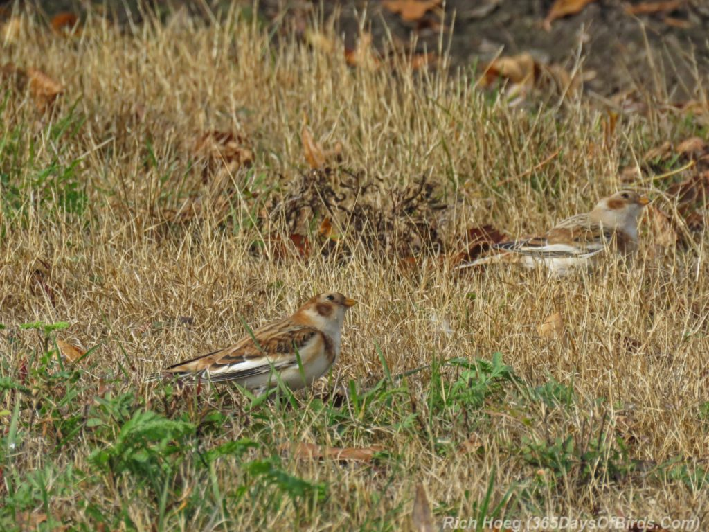 y3-m11-park-point-snow-buntings-3