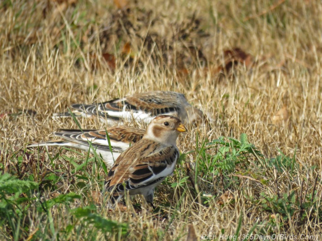 y3-m11-park-point-snow-buntings-4
