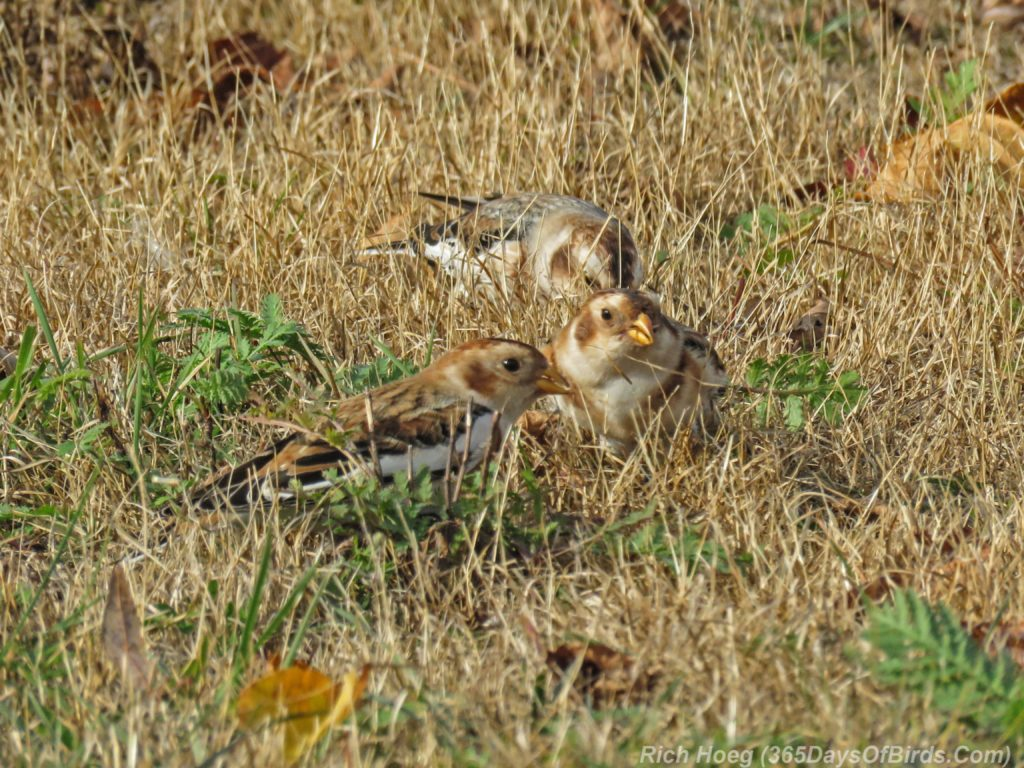 y3-m11-park-point-snow-buntings-5