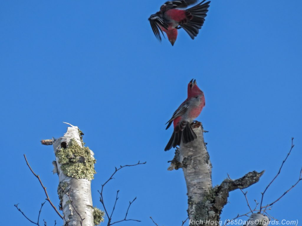 y3-m11-sand-river-pine-grosbeak-03-disagreement