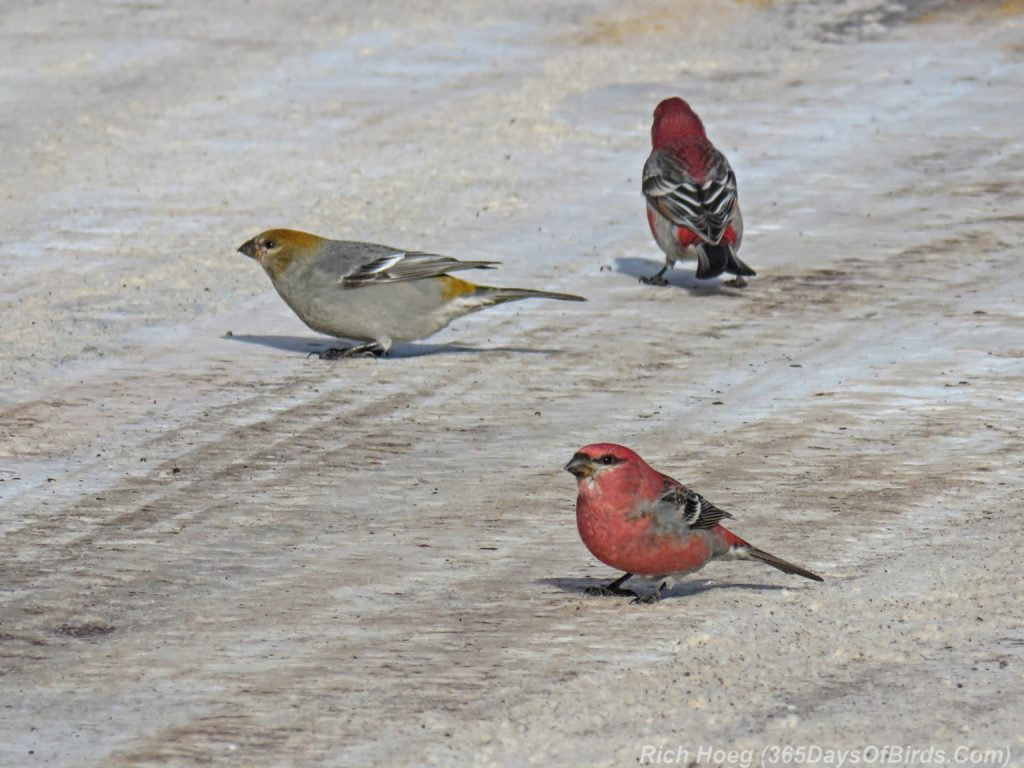 y3-m11-sand-river-pine-grosbeak-07-roadside-trio