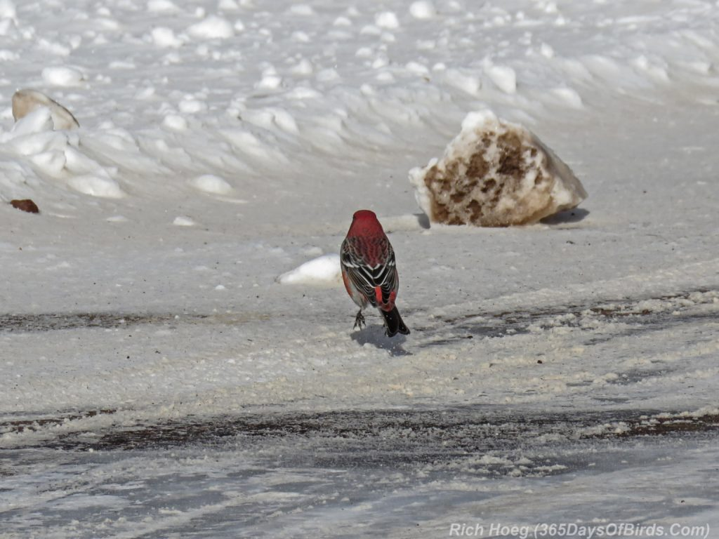 y3-m11-sand-river-pine-grosbeak-09-roadside-airborne