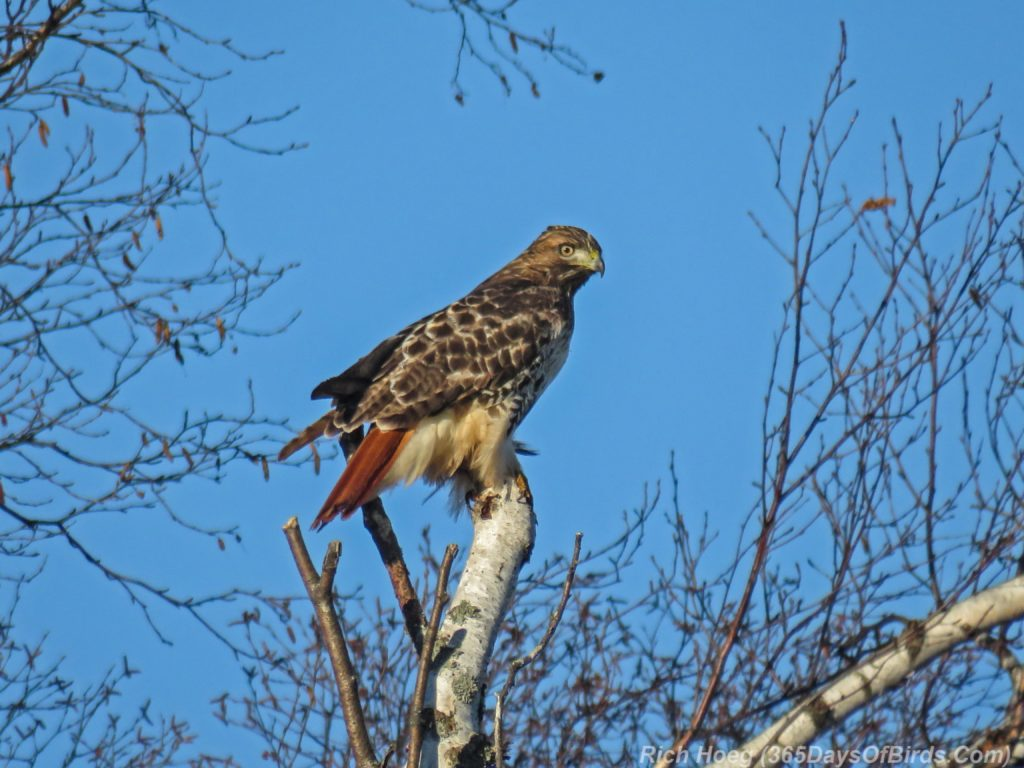 y3-m11-two-harbors-red-tailed-hawk-4b