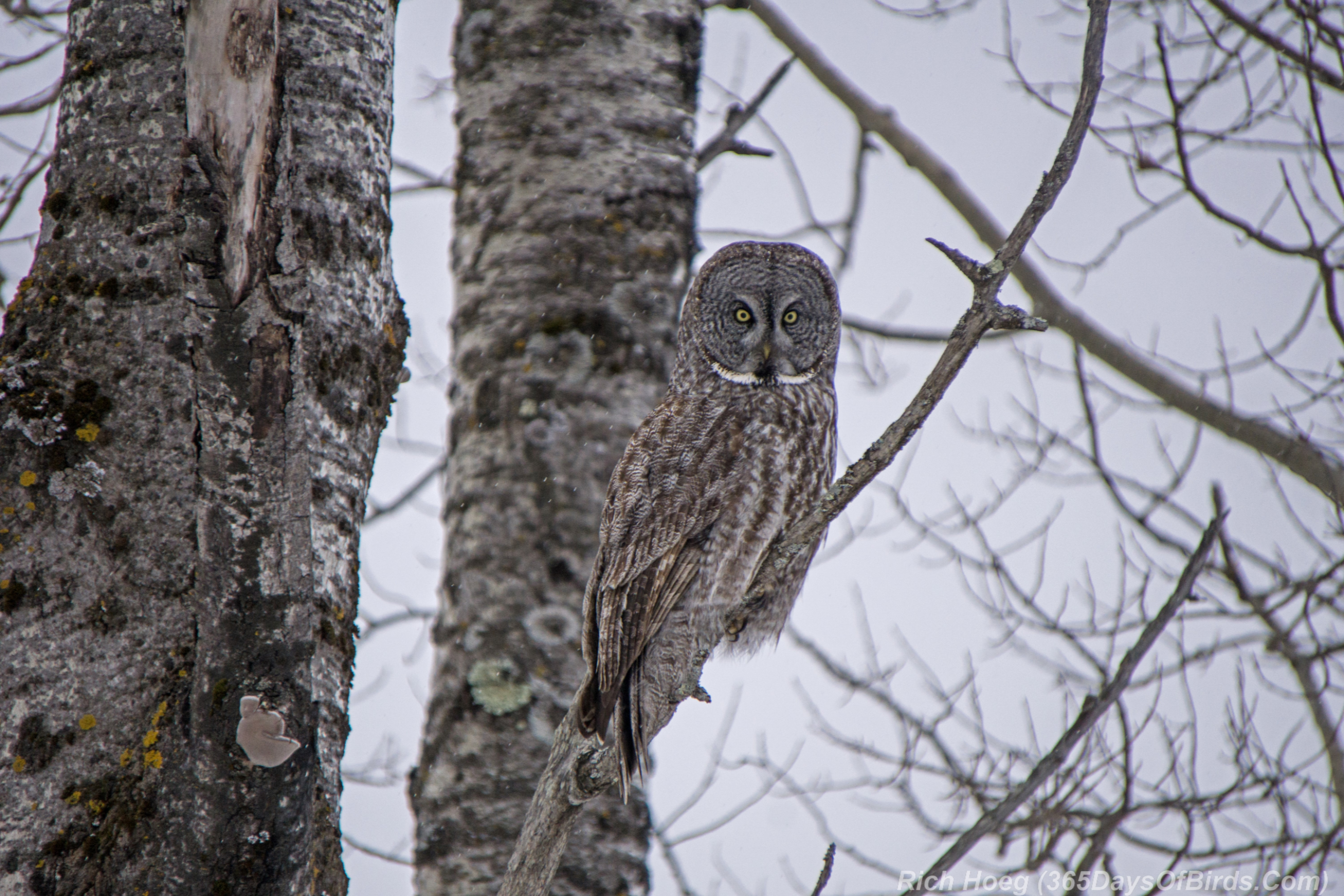 Great Gray Owl on the Hunt! | 365 Days of Birds