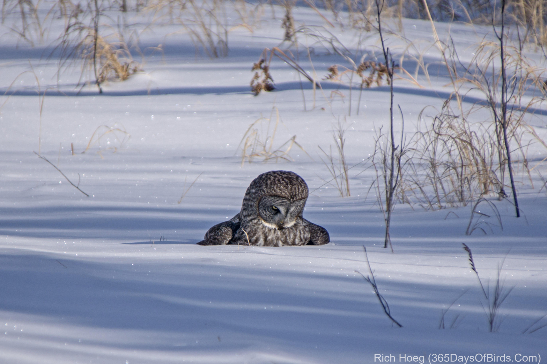 Great Gray Owl Snow Impact! | 365 Days of Birds