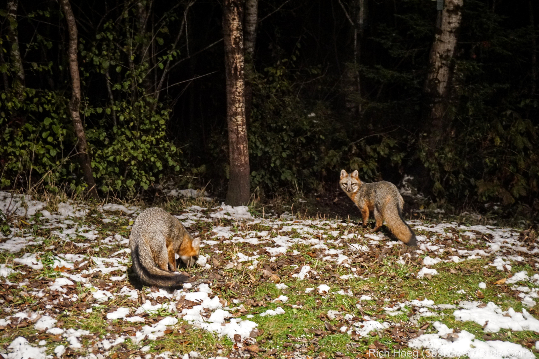 Gray Fox and Prey!   365 Days of Birds