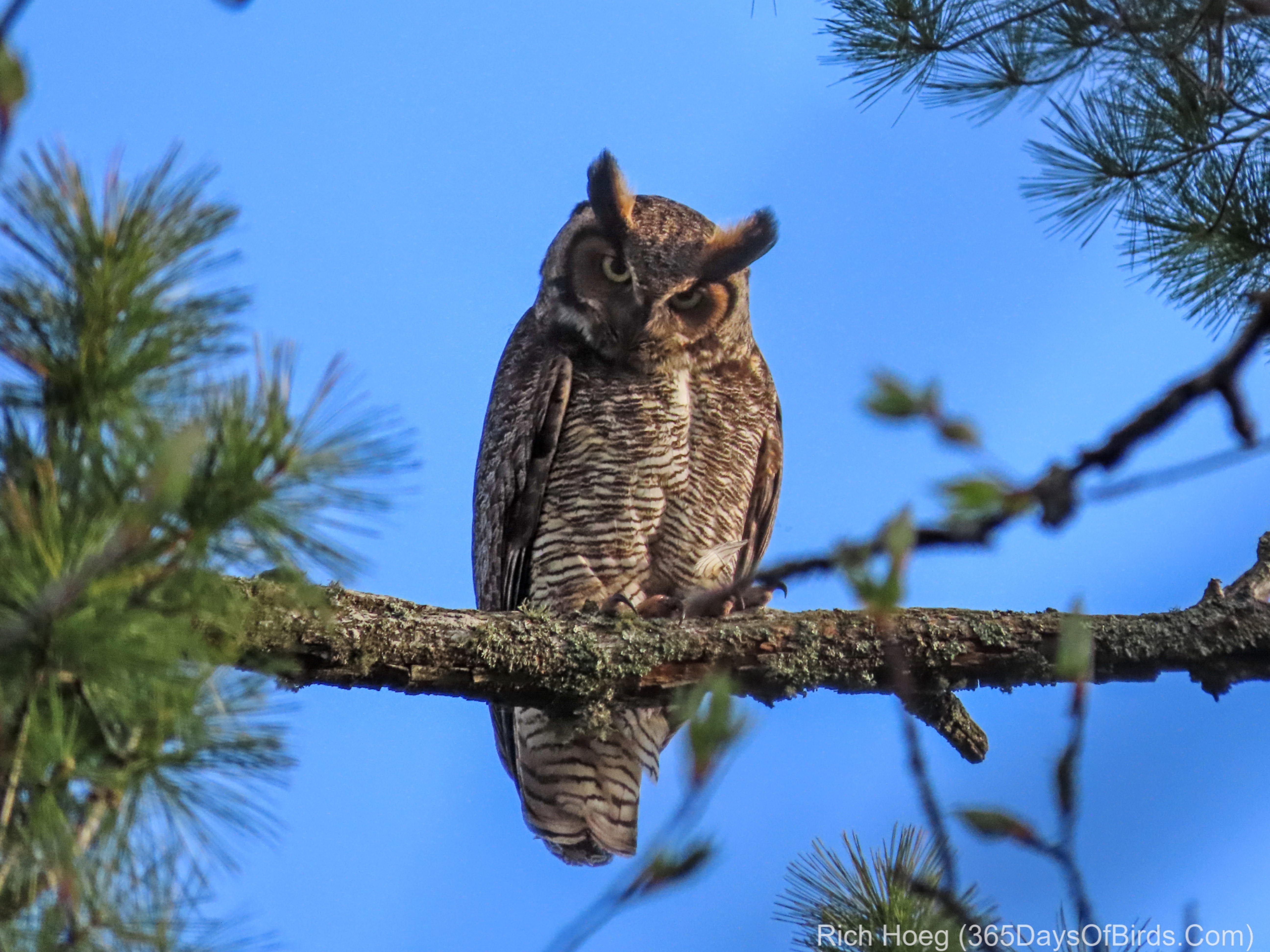 a42c28e41a0 Great Horned Owl Family at Sunrise! | 365 Days of Birds