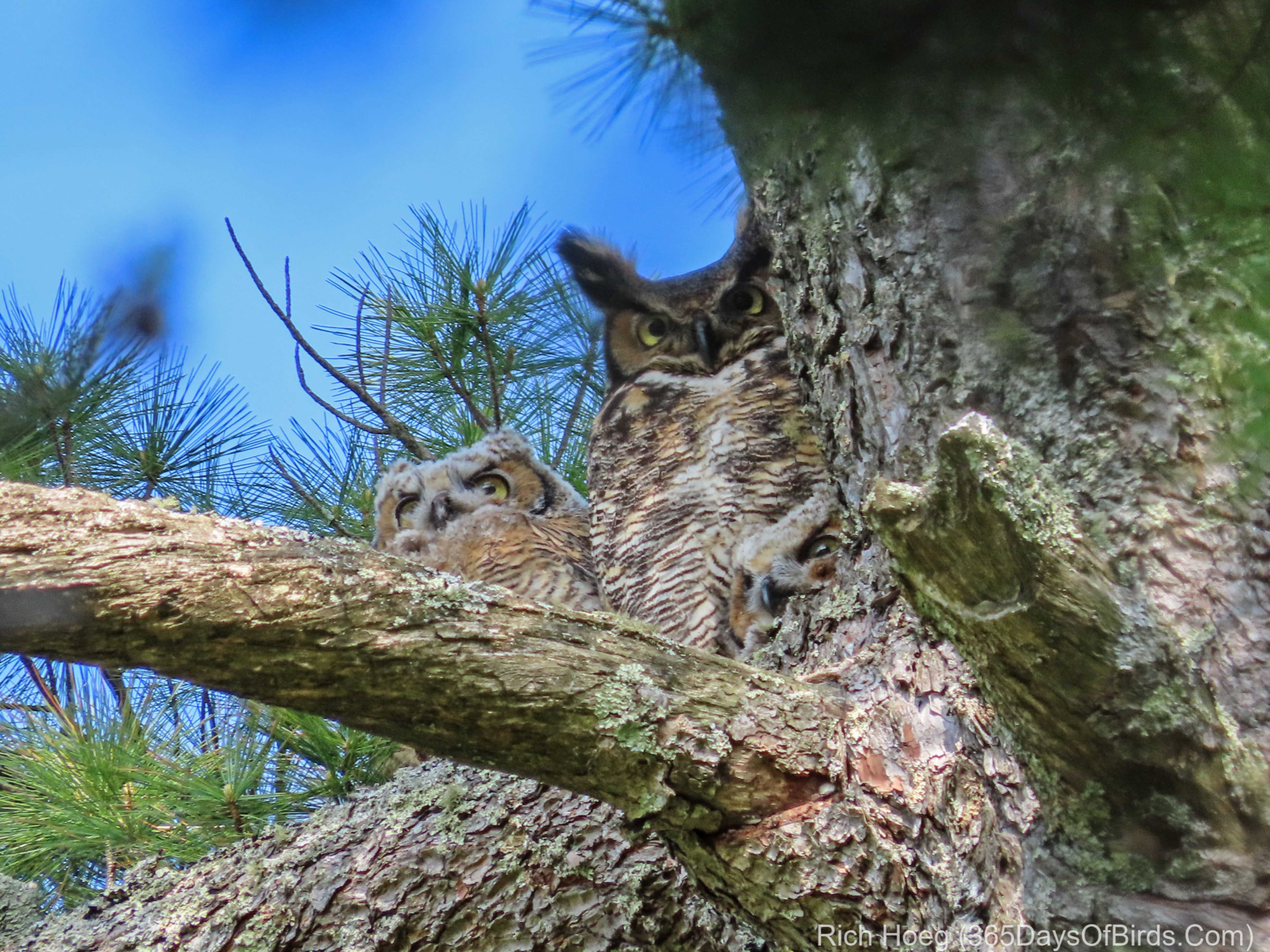 fe08eca6051 Great Horned Owl Family Watching Crow Attack | 365 Days of Birds